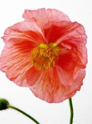 Champagne Bubble Poppy in orange red.jpg
