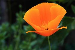 California Poppy photo.jpg