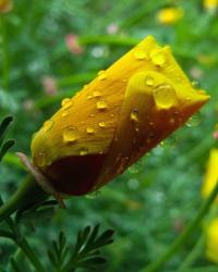 California Poppy bud.jpg