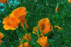 California Poppies in bright orange.jpg