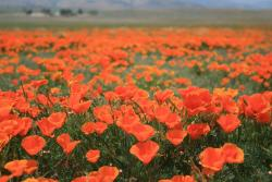 California Poppies field in orange red.jpg