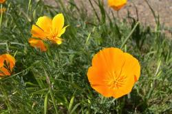 California poppies  in orange.jpg