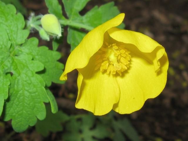Bright yellow poppy flower photog hi res 720p hd bright yellow poppy flower photog mightylinksfo