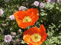 bright orange poppy picture.jpg