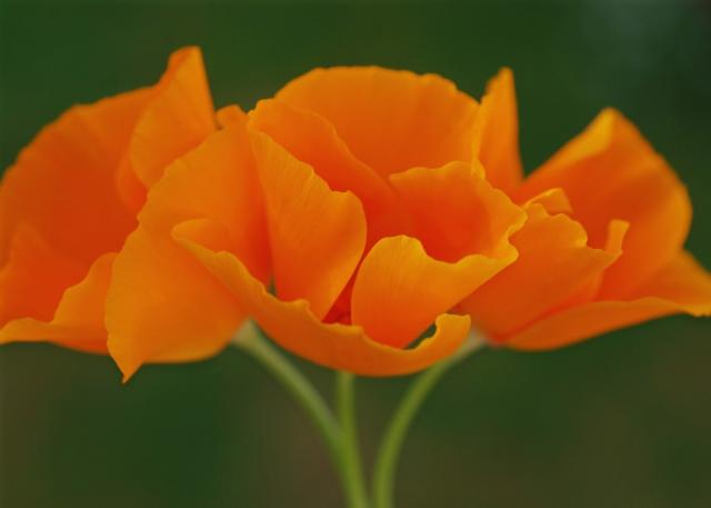 bright orange poppies.jpg