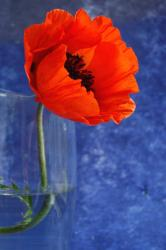 birght red poppy flower photo.jpg