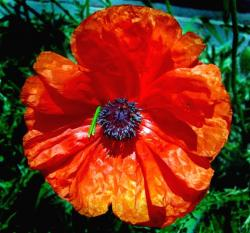 big poppy flower picture.jpg