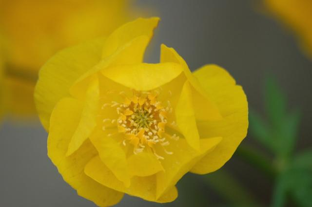 Alaskan Poppy in yellow.jpg