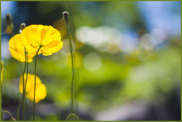 301 moved permanently - Yellow poppy flower meaning ...
