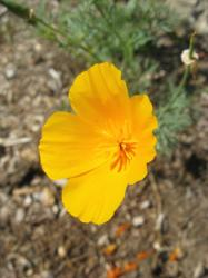 yellow poppy flower.jpg