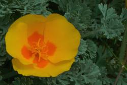 yellow poppy flower with orange center.jpg