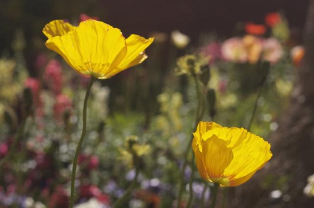 yellow poppies picture.jpg