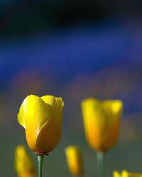 yellow California Poppy flowers.jpg