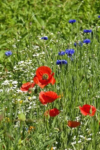 wild poppy flowers on - photo #17