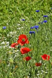 wild poppy summer flowers.jpg