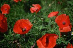 wild poppy flowers picture.jpg