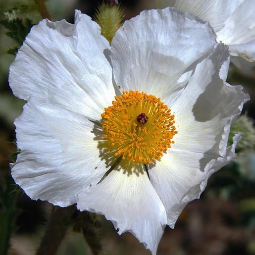 white poppy flower.jpg