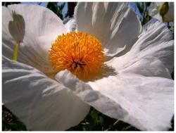 white poppy flower with yellow eye.jpg