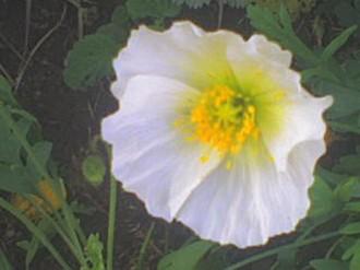Picturepoppy Flower on White Poppy Flower Picture Jpg
