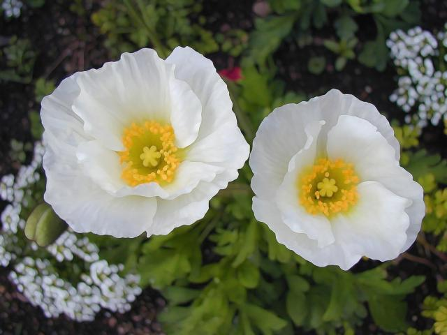 white poppies with yellow eyes picture.jpg