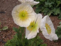 white California Poppies picture.jpg