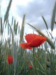 Wheat Fields and Poppies pic.jpg
