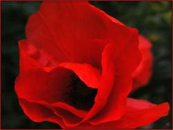 wedding flower_red poppy.jpg