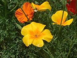 summer garden flowers poppies.jpg