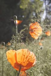 summer flower poppies.jpg