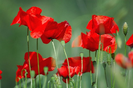 red Tuscan Poppies.jpg