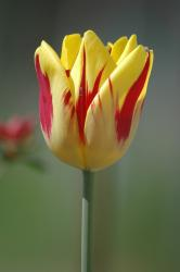 yellow tulip with red lines.jpg