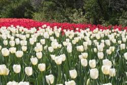 white and red Tulips picture.jpg