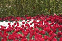 white and red Tulip flowers picture.jpg