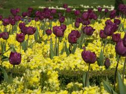 violet tulips with yellow flowers.jpg