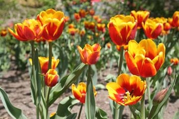 two tone flowers with orange and yellow tulips.jpg