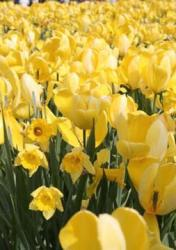 tulips yellow flowers picture.jpg