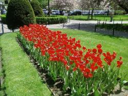 tulips red flowers picture.jpg