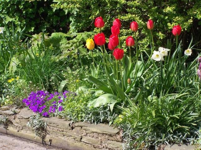 tulips garden flowers photo.jpg