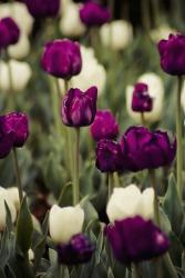 Tulip flowers in dark purple and white.jpg