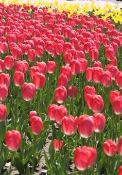 tulip flower show holland.jpg