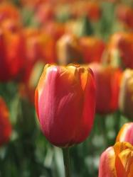 tulip flower picture.jpg