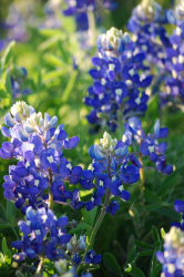 Blue Bonnet Flowers Pictures