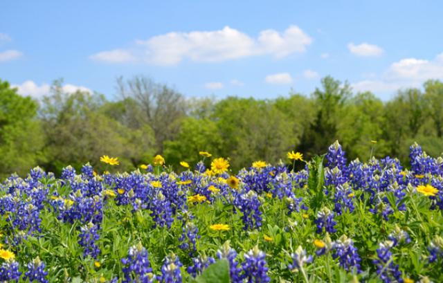 Spring flowers Bluebonnets.PNG