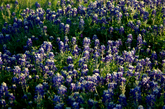 Texas Blue Bonnets.PNG