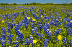 Texas Bluebonnets field with yellow flowers.PNG