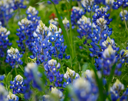 Whtie and blue flowers_bluebonnet.PNG