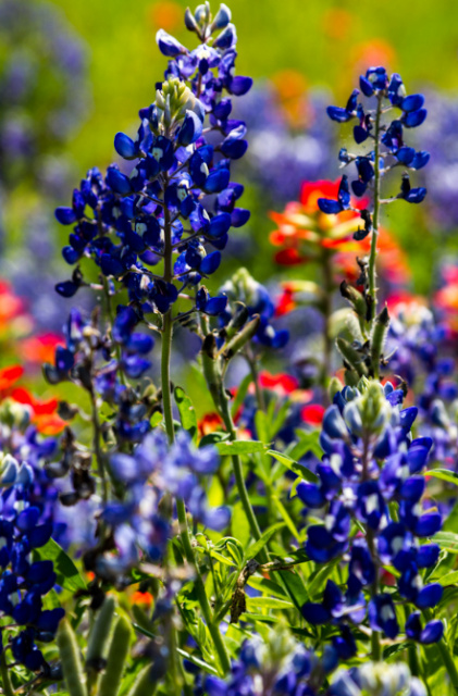 blue bonnet pictures png