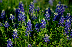 Blue Bonnets in Texas.PNG