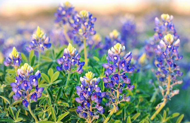 Blue bonnets plants picture.PNG