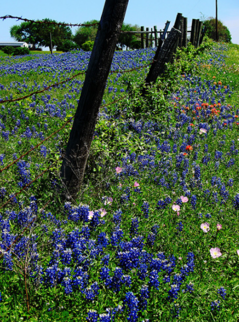 Blue flowers trails with Texas Blue Bonnets images.PNG